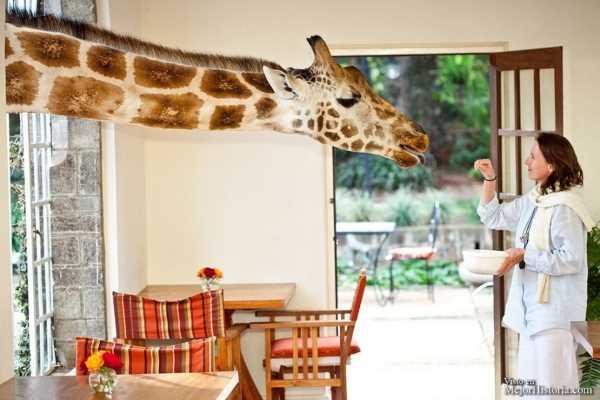 jirafa comiendo