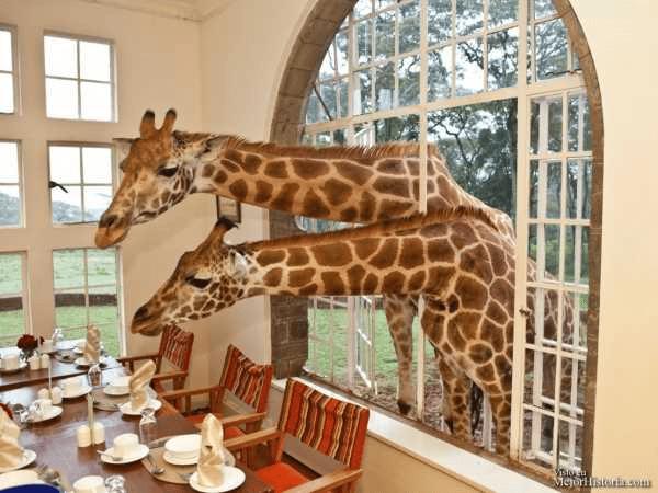 jirafa en una ventana